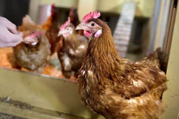 Des poules en ville projet porteur ou tuer dans l oeuf - Poules en ville reglementation ...