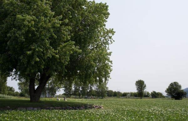 La punaise marbrée, originaire d'Asie, s'attaque aux pommiers, aux arbres fruitiers, mais également aux grandes cultures de soya et de maïs. Sur la photo, un champ de soya à Saint-Mathieu-de-Beloeil.