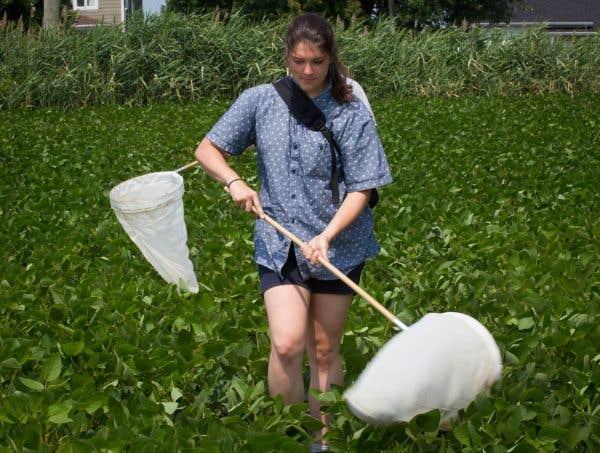 Mathilde Gaudreau, étudiante qui travaille sous la supervision de Jacques Brodeur, sort son attirail : des filets, des fioles et des pièges à phéromone qui diffusent une odeur synthétique pour attirer les punaises marbrées.