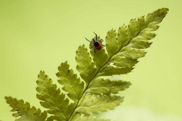 La maladie de Lyme peut induire des complications