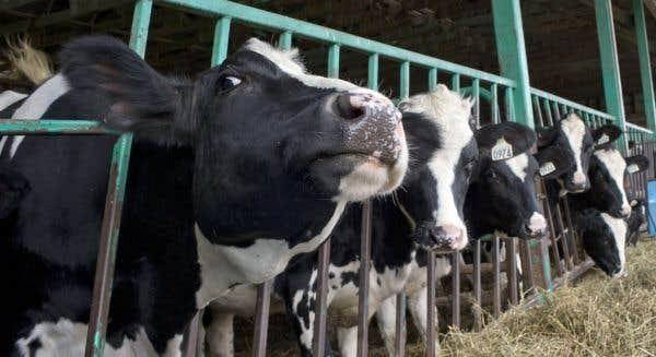 Le programme fédéral de compensation représente des pinottes pour les producteurs laitiers québécois affectés par l'AECG.