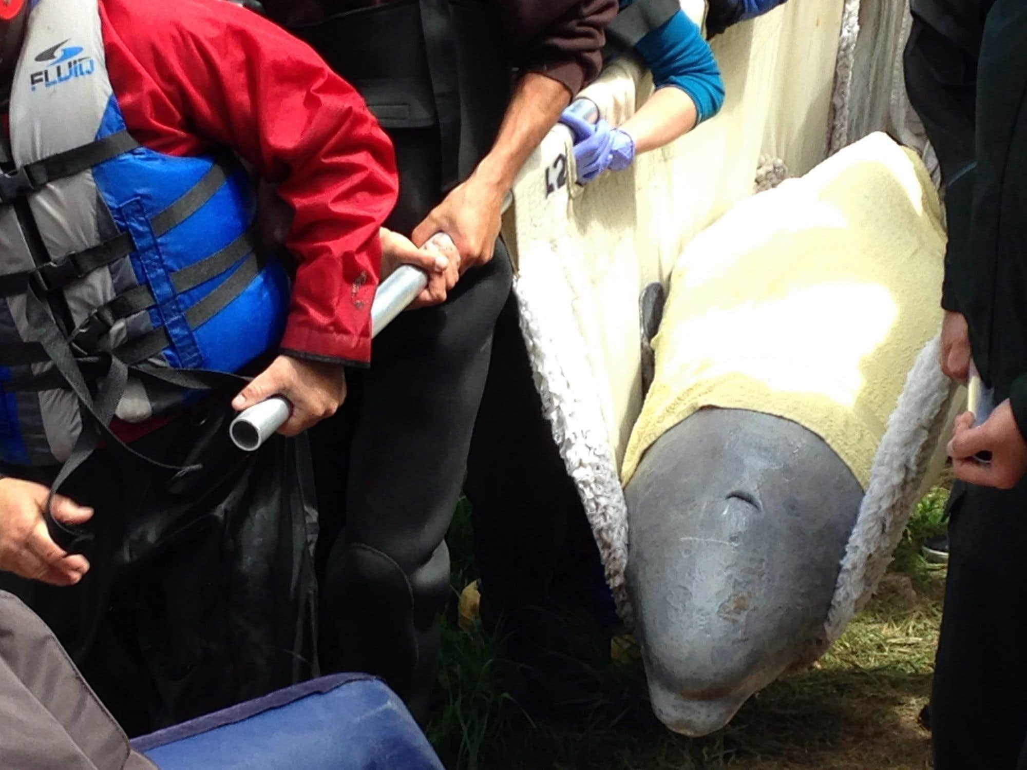 Le béluga qui avait erré dans une rivière au Nouveau-Brunswick a été secouru jeudi. Après avoir été capturé, le mammifère marin a été transporté en avion nolisé jusqu'à Rivière-du-Loup, transporté en camion jusqu'au port de Cacouna, puis placé à bord d'un bateau du GREMM pour ensuite être replacé au sein d'un groupe de bélugas au large du fleuve Saint-Laurent. L'animal a été remis à l'eau vers 17 h jeudi.