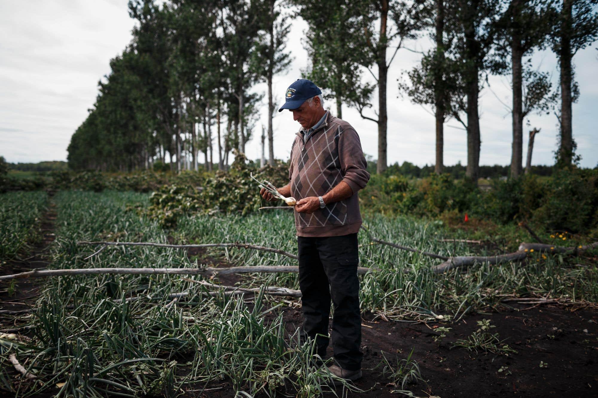 Le cocktail météorologique qui s'est abattu en Montérégie il y a une semaine s'avère être une double tragédie. Tandis que les dégâts pourraient se chiffrer à des dizaines de millions de dollars pour des producteurs agricoles comme Denys Van Winden, quelque 350 travailleurs saisonniers du Mexique et du Guatemala risquent d'être renvoyés dans leur pays deux mois à l'avance, faute de travail. Consultez notre texte sur le sujet