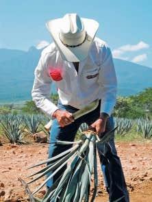 Pass&eacute; ma&icirc;tre dans l&rsquo;art d&rsquo;effeuiller l&rsquo;agave, le cultivateur Ismael Gama Rodarte est l&rsquo;un des jimadores les plus rapides de ce champ de Cuervo, g&eacute;ant mondial de la tequila. L&rsquo;agave, mati&egrave;re premi&egrave;re de la boisson, est d&eacute;pouill&eacute; de ses feuilles &eacute;pineuses et le c&oelig;ur de la plante est ensuite chauff&eacute; pour produire l&rsquo;ensorcelant &eacute;lixir. <br />