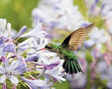 Avec les r&eacute;centes temp&eacute;ratures tr&egrave;s chaudes, les colibris ont acc&eacute;l&eacute;r&eacute; leur migration vers le nord.<br />