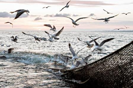 <div> Des go&eacute;lands bataillent au-dessus du filet d&rsquo;un chalutier p&ecirc;chant dans l&rsquo;Atlantique. Apr&egrave;s la surp&ecirc;che, la pollution serait le deuxi&egrave;me facteur de &laquo;mise en danger&raquo; des ressources halieutiques.</div>