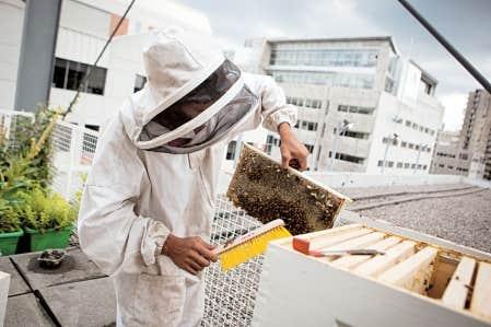 L'apiculture urbaine se popularise à Montréal. Outre l'UQAM (notre photo), le Palais des congrès, l'Université de Montréal, les Sœurs hospitalières ou le technopôle Angus accueillent des colonies.