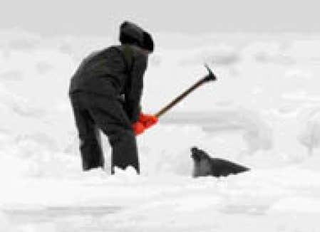 Chasse aux phoques greenpeace change de camp le devoir - Tuer un arbre avec de la javel ...