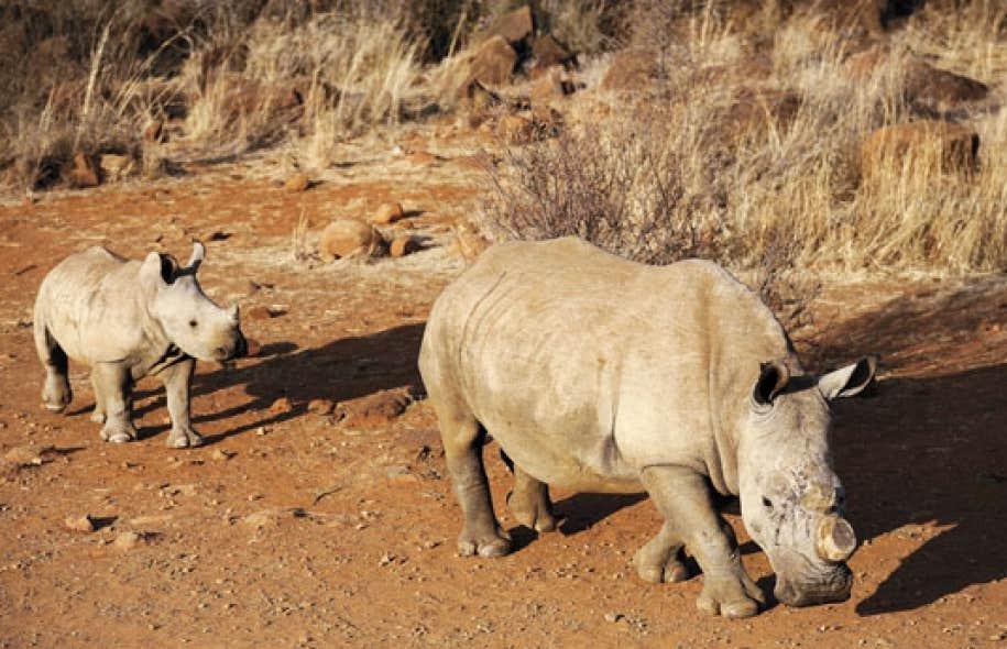 <div> L&rsquo;une des m&eacute;thodes utilis&eacute;es pour pr&eacute;venir le braconnage en Afrique du Sud est de couper les cornes des rhinoc&eacute;ros adultes.</div>
