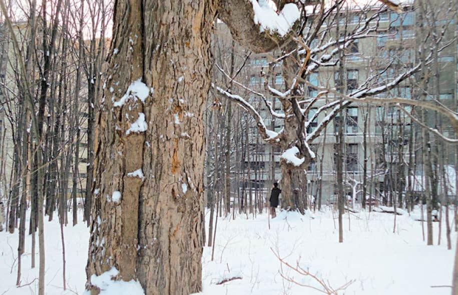 La «grande majorité» des arbres du boisé Saint-Patrick seront préservés, à l'exception de deux arbres anciens.
