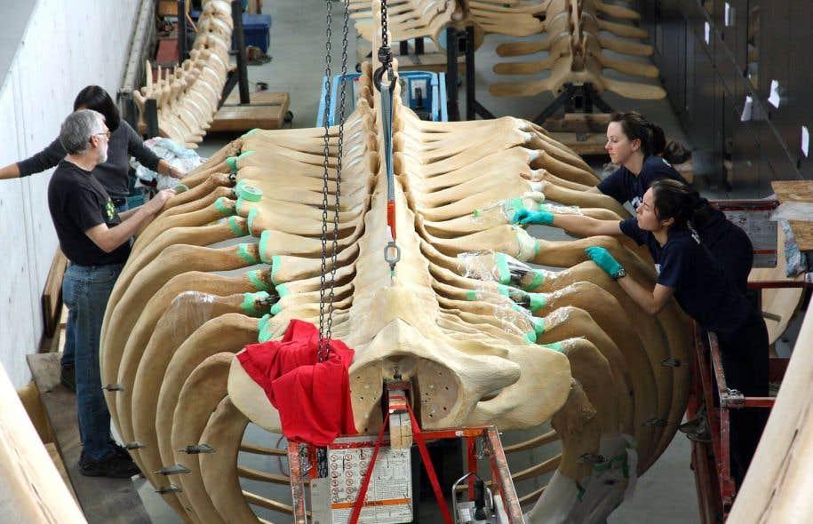 Ce documentaire raconte les difficultés de retrouver une baleine bleue, d'en extraire l'imposant squelette et de le nettoyer pour l'exposer, suspendu.