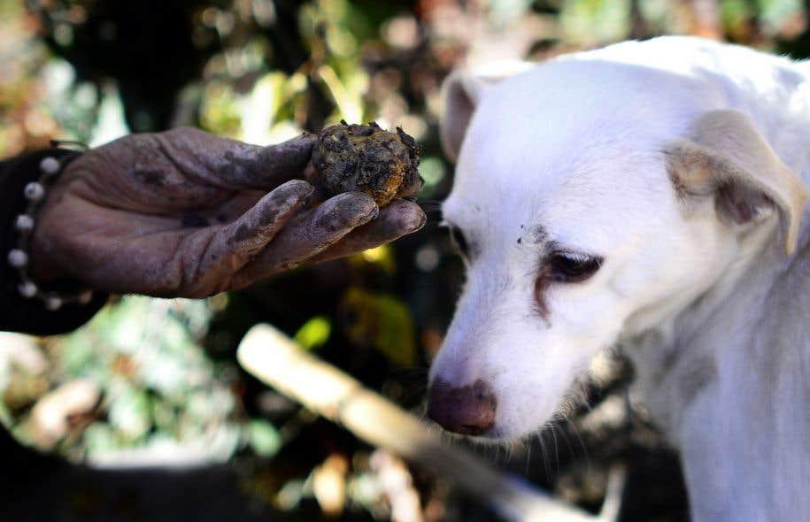 La truffe, ce champignon magique! | Le Devoir