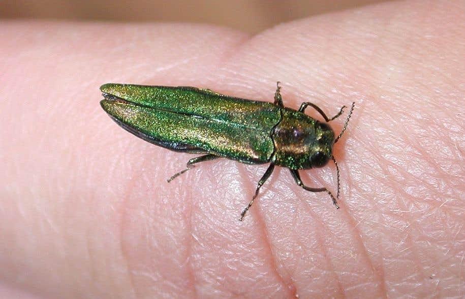 Montréal tente depuis des années de protéger les frênes du domaine public contre les ravages de l'insecte asiatique.