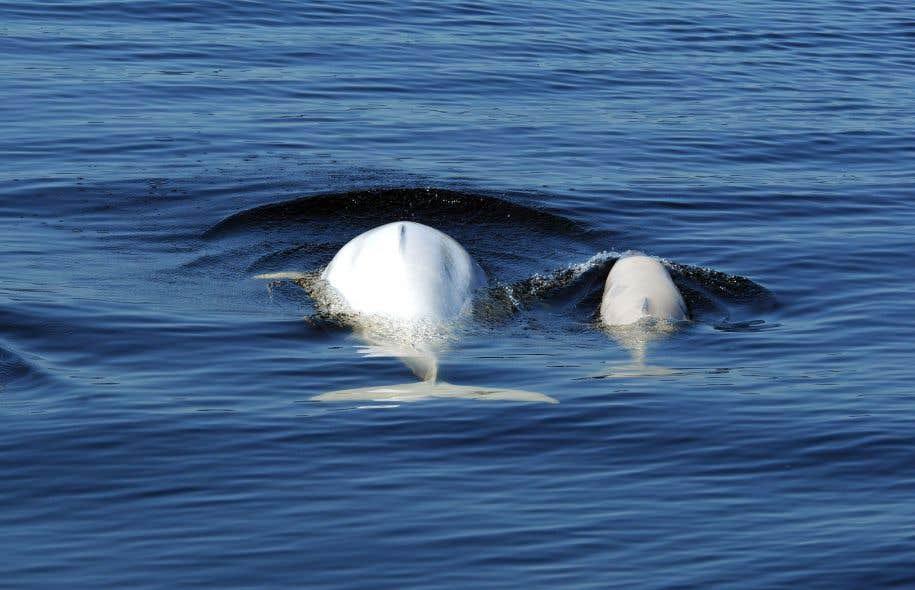 Un avis scientifique de Pêches et Océans a déjà conclu qu'une augmentation du trafic maritime à proximité de Cacouna «représenterait une augmentation importante de l'exposition au bruit» pour les femelles bélugas.