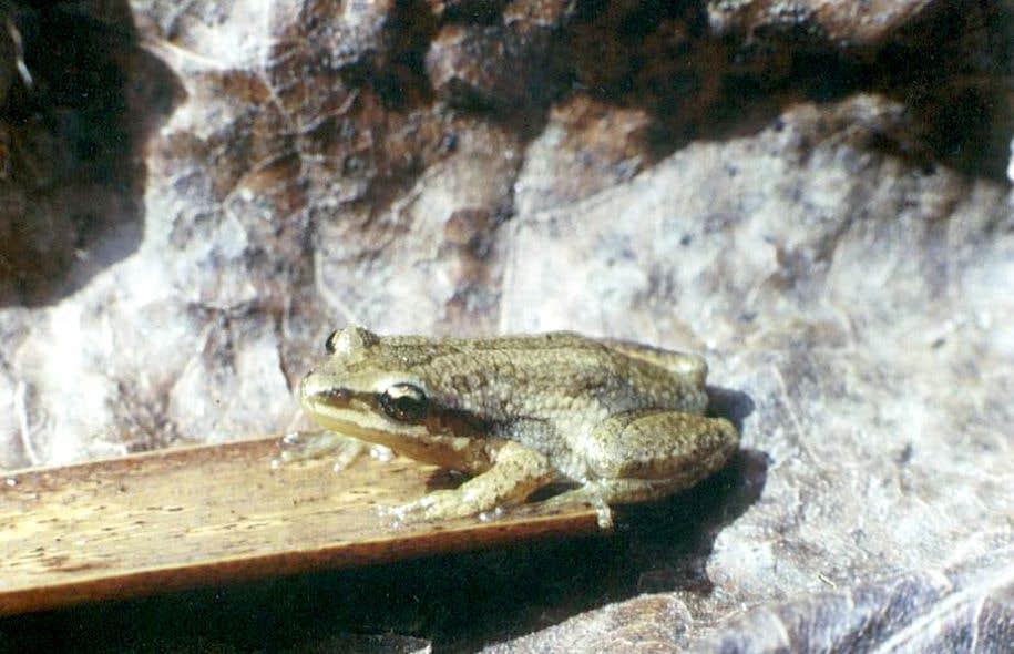 La plus menacée des grenouilles du Québec, la rainette faux-grillon, figure sur la liste des espèces en péril au Canada.