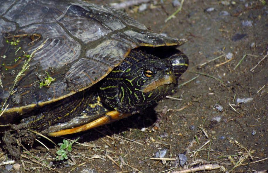 La tortue géographique est une des espèces recensées dans la zone où serait construit le projet immobilier «Cap Nature».