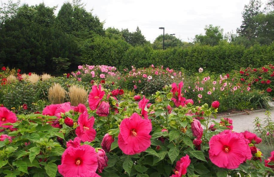 Vivaces les hibiscus le devoir for Au jardin des colibris avis