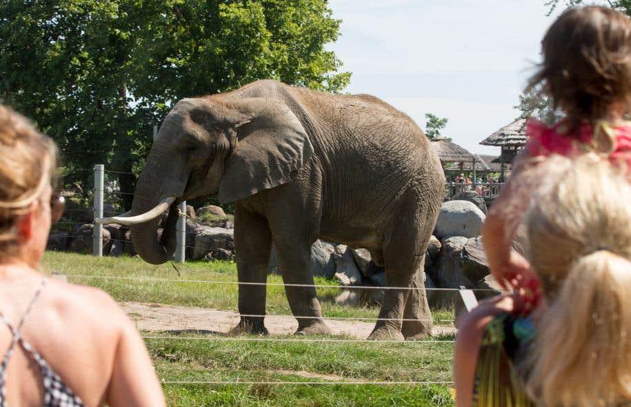 Une étude comparative menée par le zoo de Granby et l'Association des zoos et aquariums (AZA) démontre que les éléphants en captivité feraient autant de pas en captivité que dans leur environnement naturel.