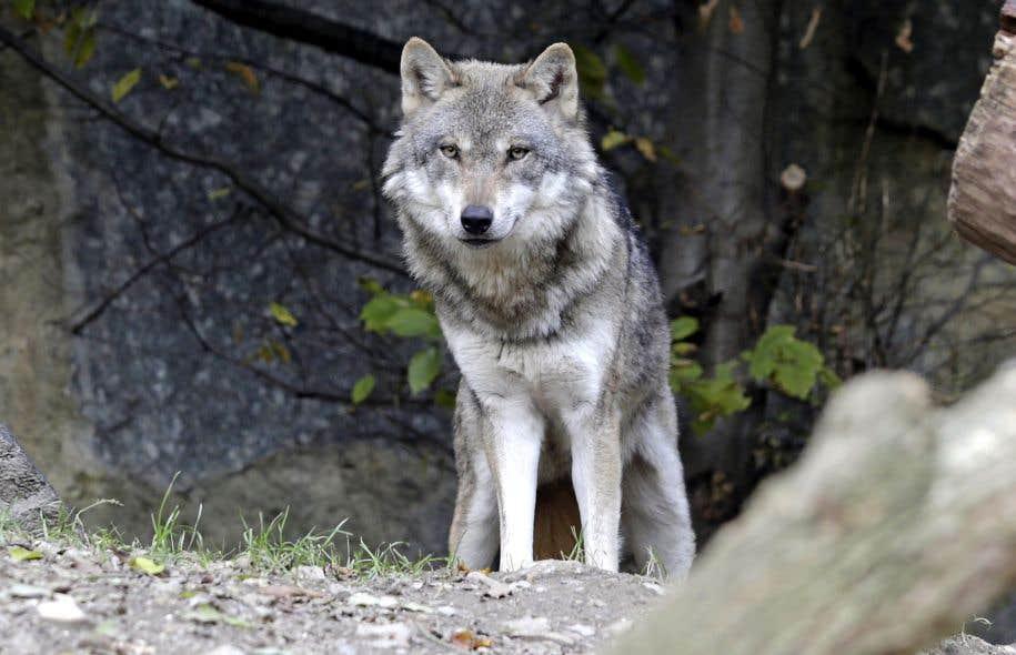 À la suite de ses observations, le zoologiste américain L. David Mech explique que le «couple alpha», à l'état sauvage, est en réalité un couple parental, dont le reste du groupe est la progéniture: «la meute de loups typique est une famille». Exit le modèle classique de la dominance animale.