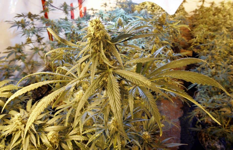 Le gouvernement devrait permettre la culture personnelle de cannabis à des fins récréatives jusqu'à un maximum de quatre plants de 100 cm de hauteur.<br />