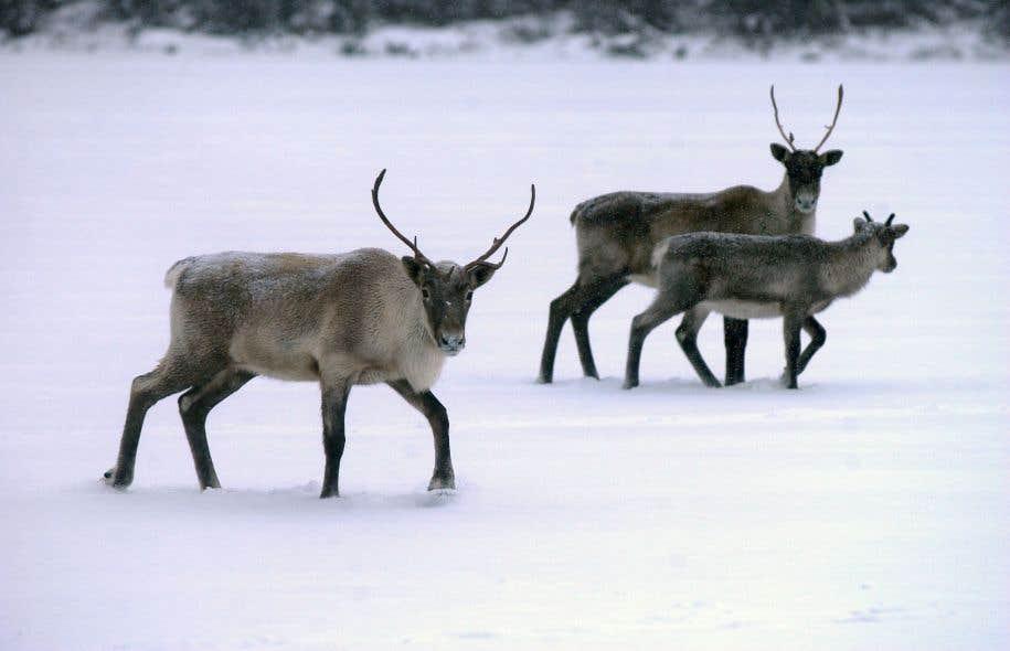 Le caribou forestier a été désigné «espèce vulnérable» au Québec en 2005.