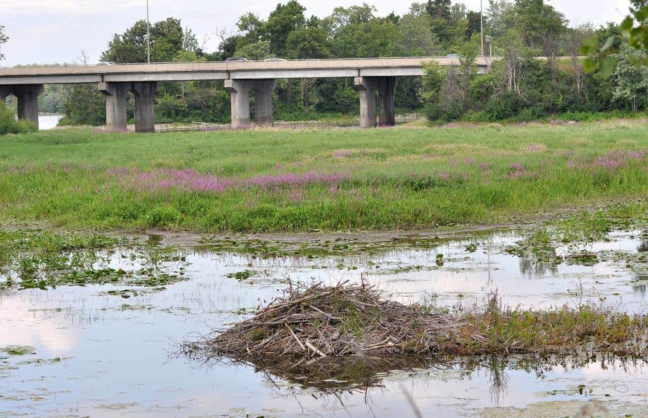 Dans la grande région de Montréal, quelque 85 % des milieux humides auraient déjà disparu.
