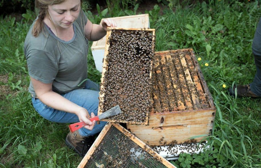 Derrière la station apicole, au rucher des éleveuses, Andrée Rousseau travaille mains nues et sans filet. Les abeilles qui sont développées ici sont très douces, car le gène de l'agressivité n'est pas reproduit.