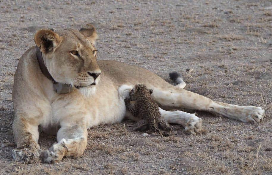 Les photos prises par un touriste néerlandais font voir la lionne allongée calmement pendant que le léopardeau se régale.