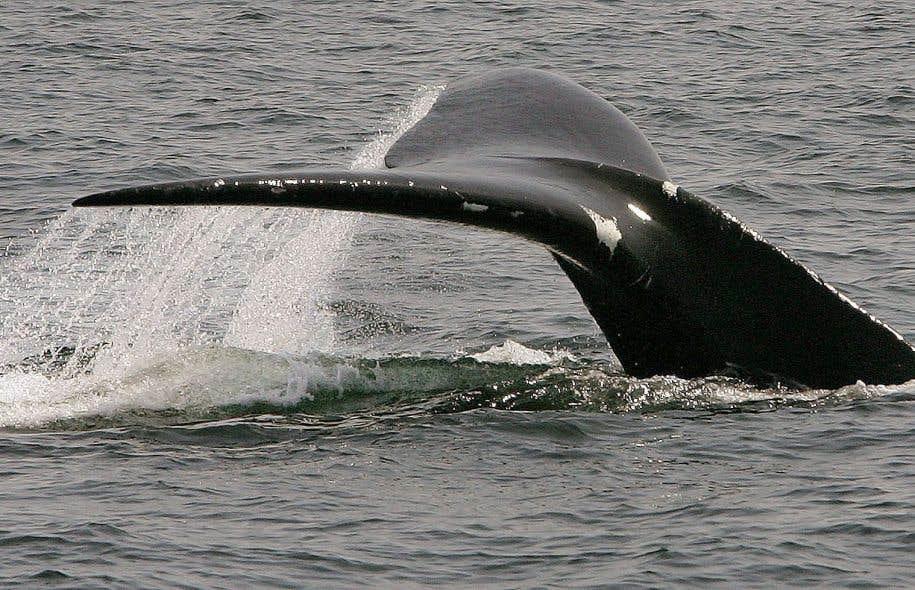 Selon le ministre fédéral des Pêches, Dominic LeBlanc, de 80 à 100 baleines noires se trouveraient actuellement dans le golfe du Saint-Laurent. Au moins 10 de celles-ci sont mortes depuis le début du mois de juin.