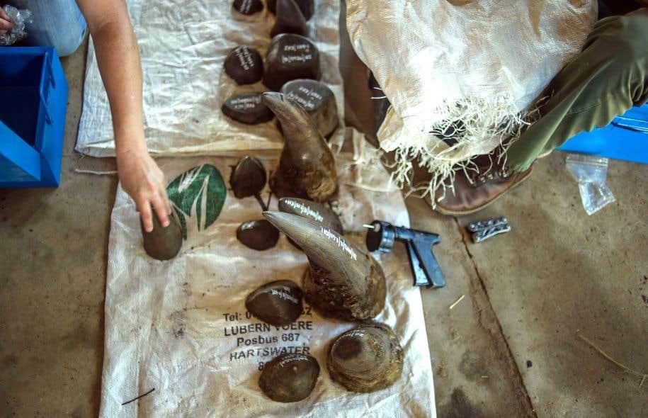 Une fois coupées, les cornes de rhinocéros sont pesées et conservées dans le ranch de John Hume.