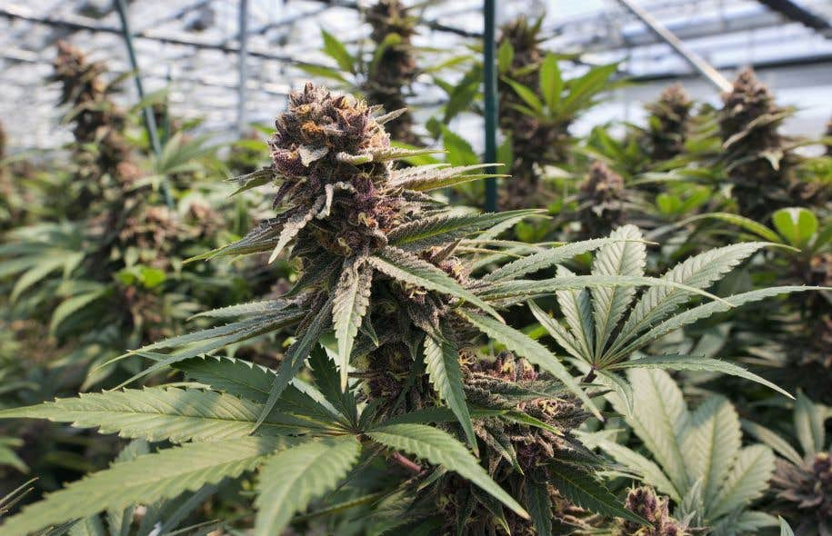 Les chefs de police à travers le Canada ont de sérieux doutes quant à leur capacité de faire respecter la loi légalisant la marijuana.