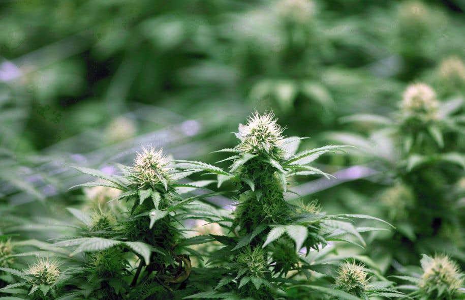 La variété de marijuana qui n'atteint pas plus d'un mètre de hauteur est aussi celle qui fournit le plus de cocottes.