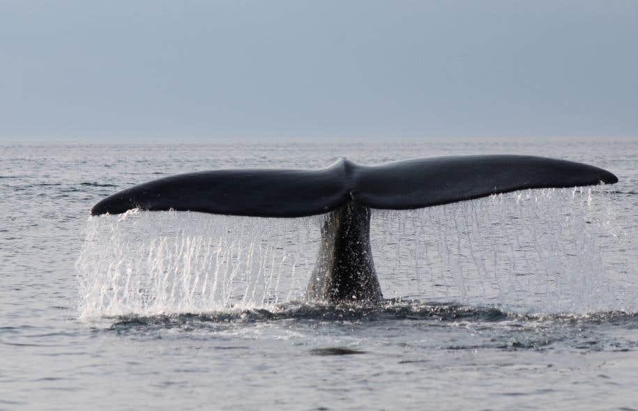 La baleine noire Phantom photographiée dans le Golfe du Saint-Laurent.