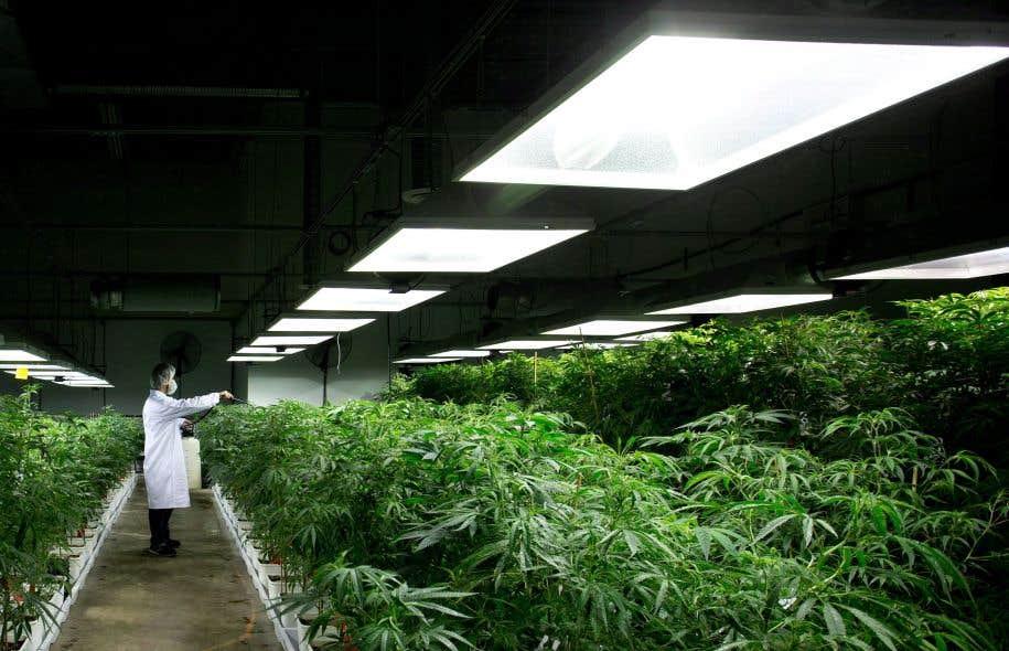Le cannabis séduit les investisseurs