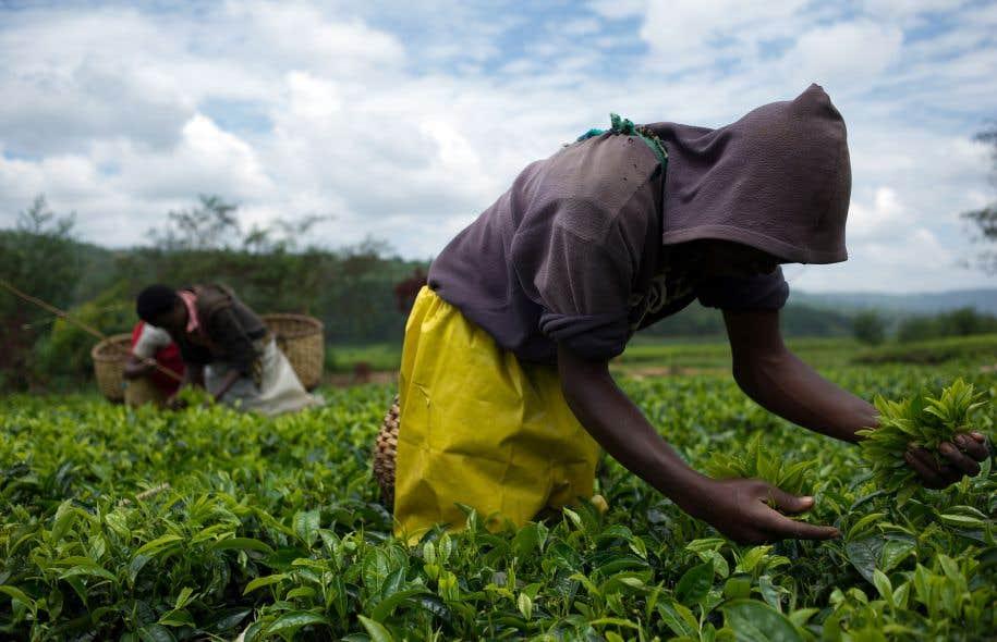 Des ouvriers travaillant dans une plantation de thé au Rwanda. L'Afrique subsaharienne est «la seule région au monde où la population rurale continuera de croître après 2050», selon l'Organisation des Nations unies pour l'alimentation et l'agriculture.
