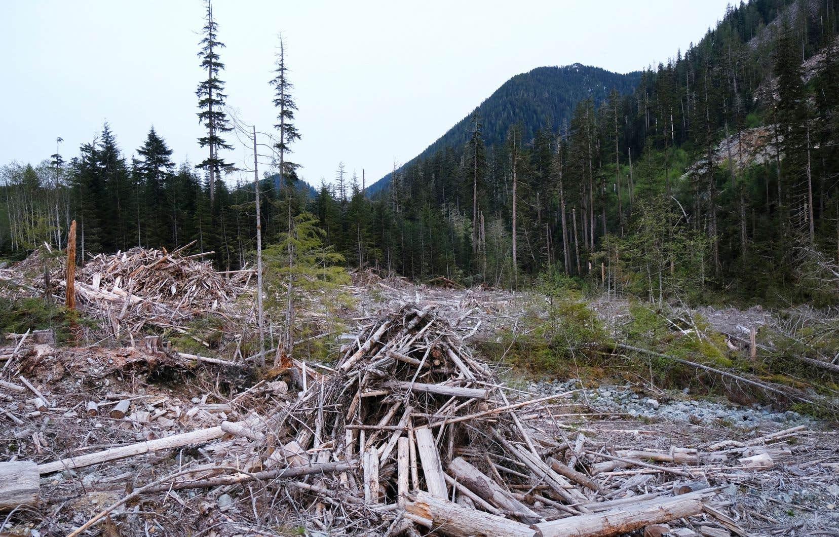 Ni le PLC, ni le PCC, ni le NPD ne s'engagent à couper court à l'abattage d'arbres anciens à Fairy Creek, sur l'île de Vancouver. Le conseil de la Première Nation Pacheedaht (mais pas le chef héréditaire) approuve les coupes projetées.