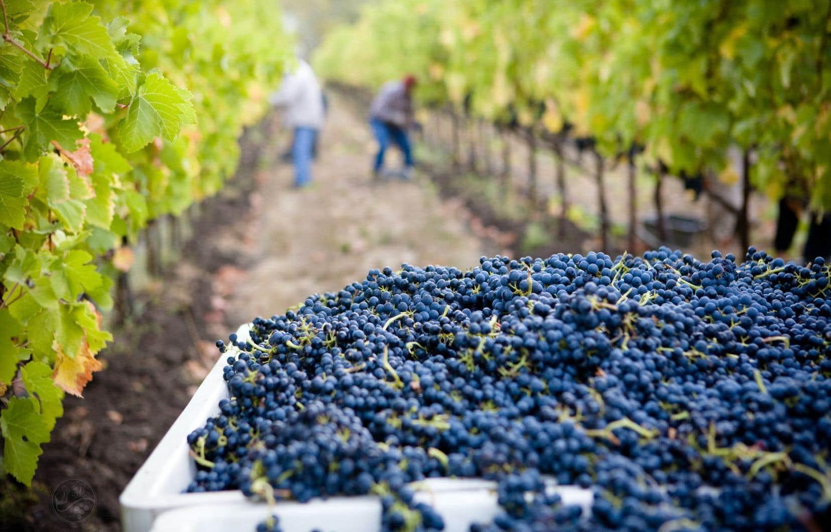 «Pour [réussir un vin], il faut qu'au moment des vendanges, le raisin ait atteint le bon équilibre entre l'acidité et les sucres, ce qui peut être compliqué au Québec», explique l'œnologue Julia Torchut.