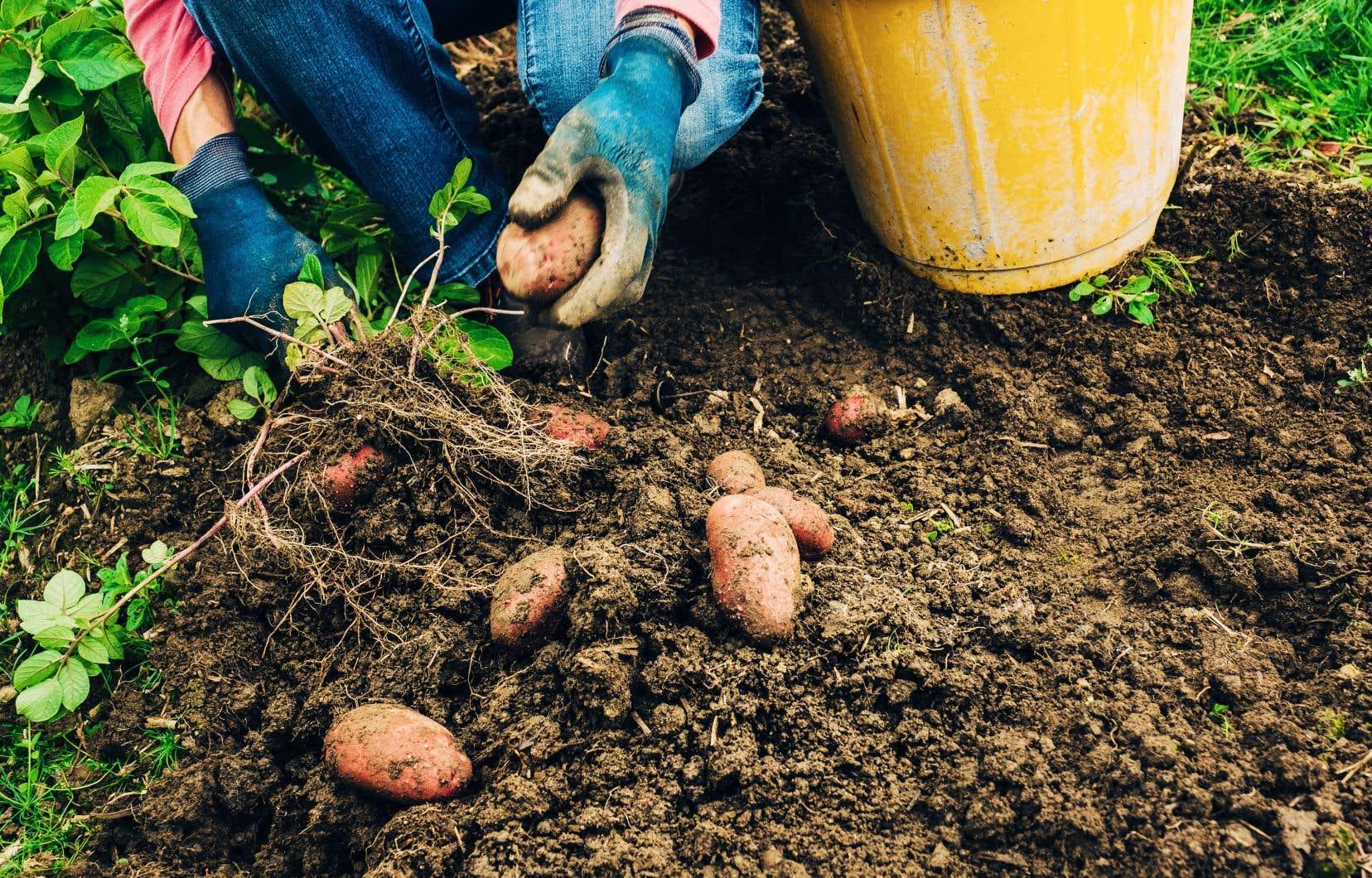 Si vous avez planté des pommes de terre au printemps, elles sont maintenant prêtes à être récoltées.