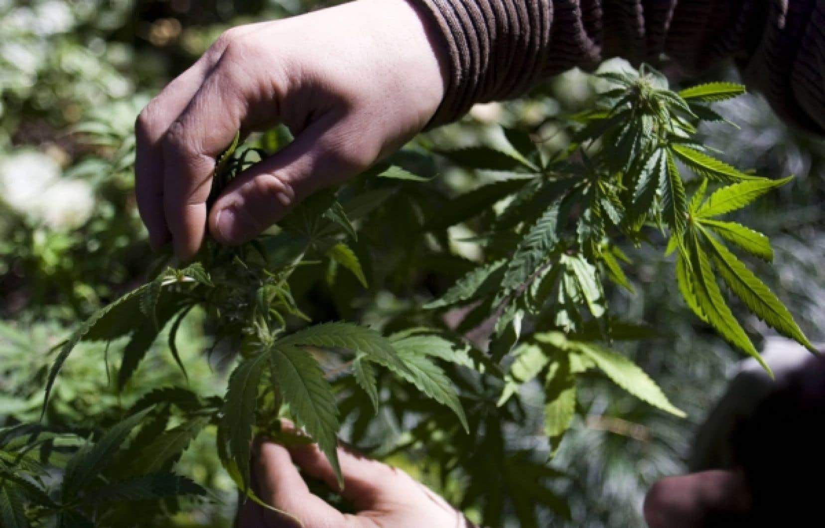 Les biologistes ont identifi&eacute; le m&eacute;canisme qui diff&eacute;rencie le cannabis, la drogue, des vari&eacute;t&eacute;s de chanvre.<br />