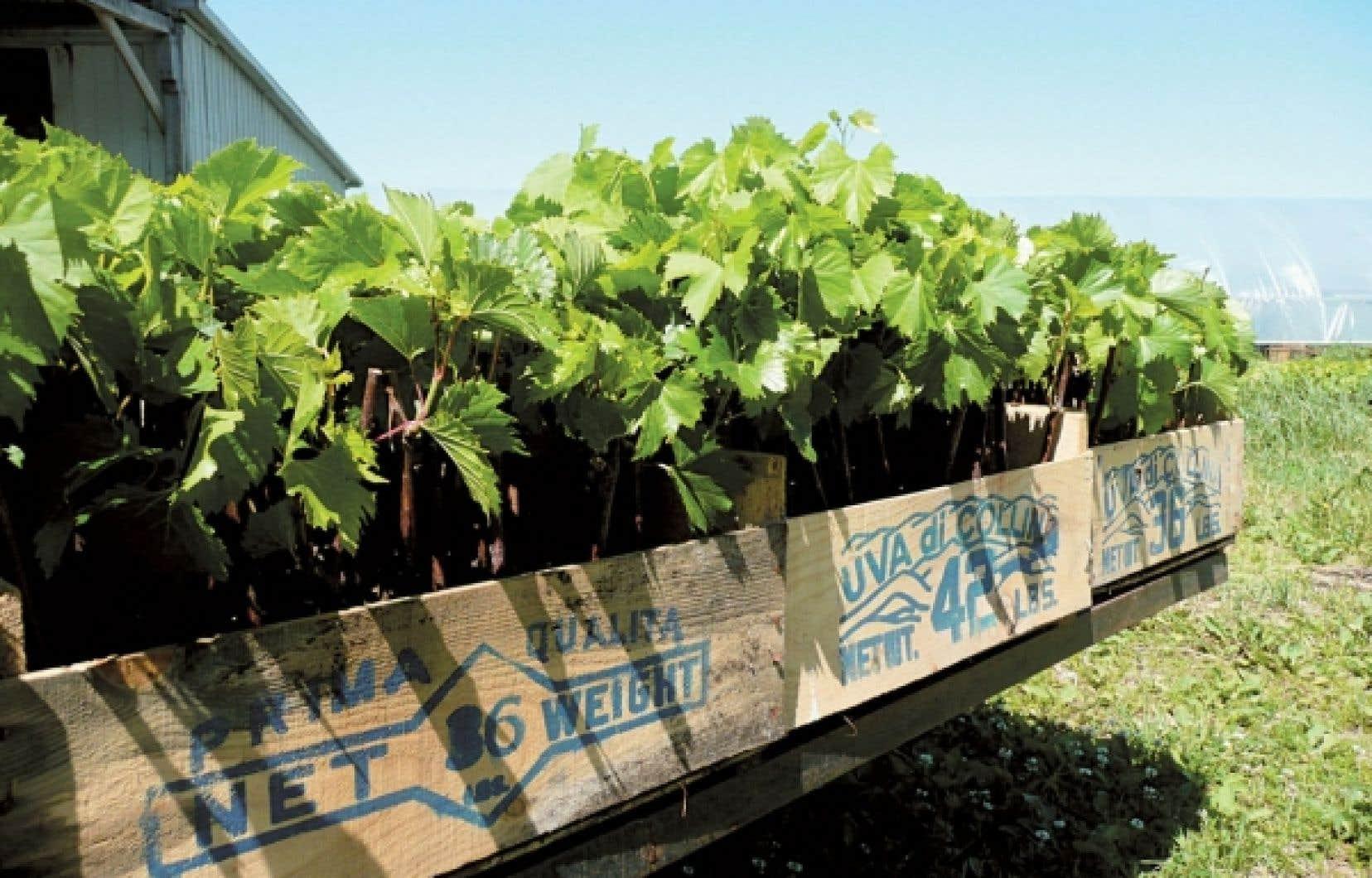 Des boutures de vignes de raisins de table rustiques au Québec, qui sont faciles à cultiver et dont le goût n'a rien à envier aux raisins importés. Elles ont été produites par Vignes chez soi.
