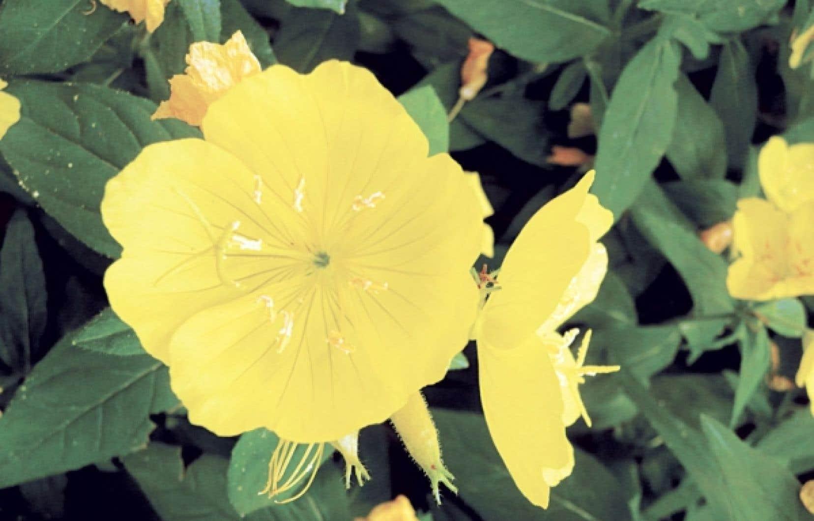 <div> Les fleurs d'onagre se mangent entières, sans étamines, ou encore on déguste uniquement les pétales. On les aime en salade et avec les légumes, le riz ou les pâtes.</div>