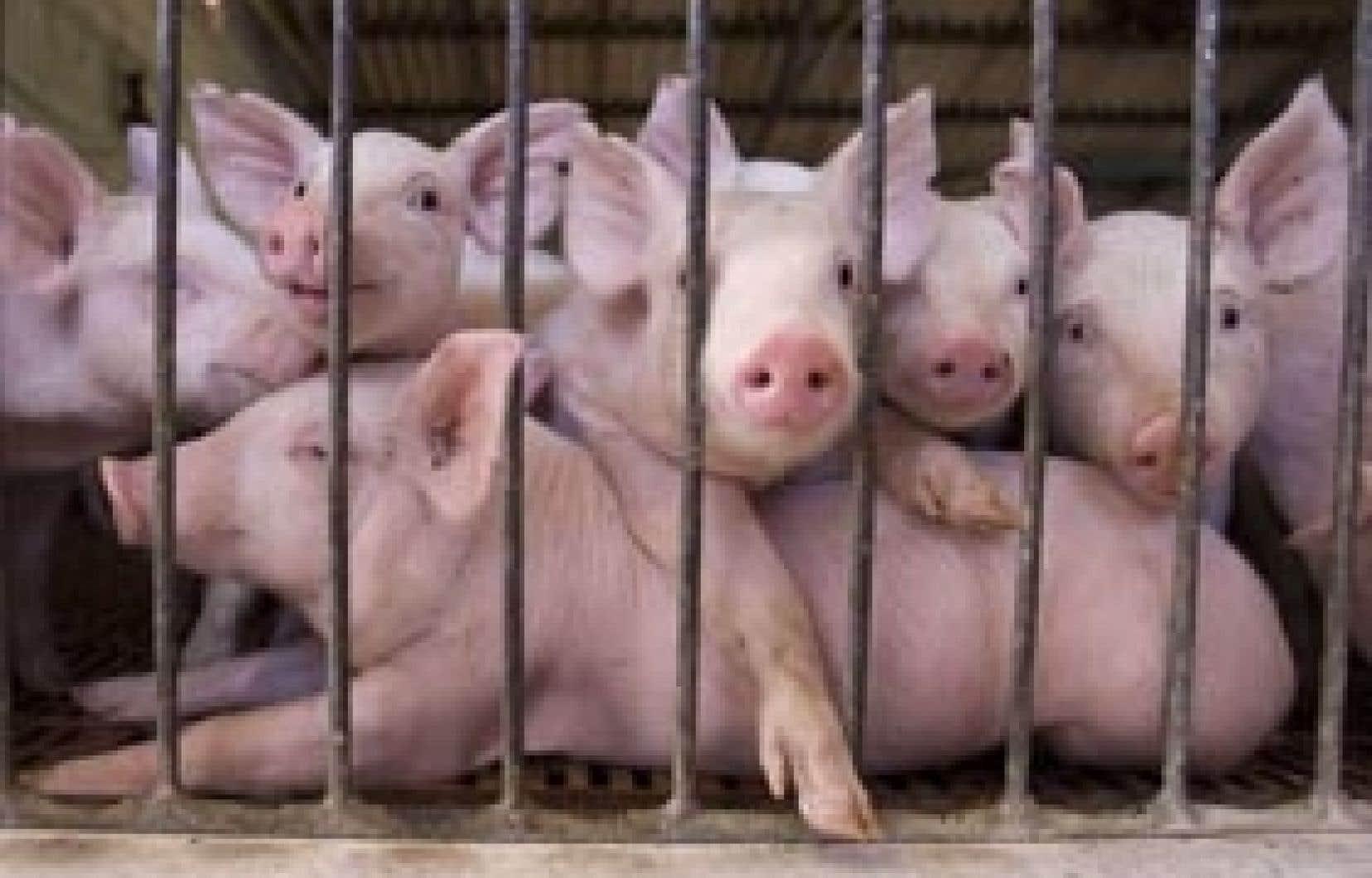 Pour l'instant, la plus grosse menace qui pèse sur les producteurs porcins québécois est la concurrence américaine.