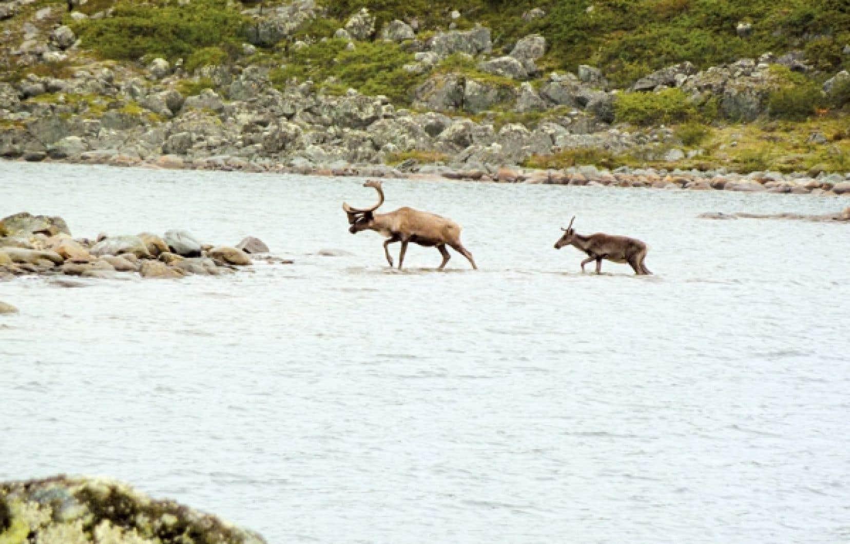 Des caribous traversant un lac au nord du 60e parallèle, au Québec. La population du caribou forestier, une sous-espèce qui vit un peu plus au sud en forêt boréale, est désignée vulnérable depuis 2005.
