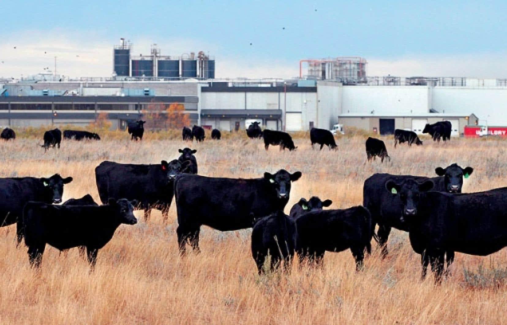Un pâturage de bœufs, près d'une usine de XL Foods, en Alberta