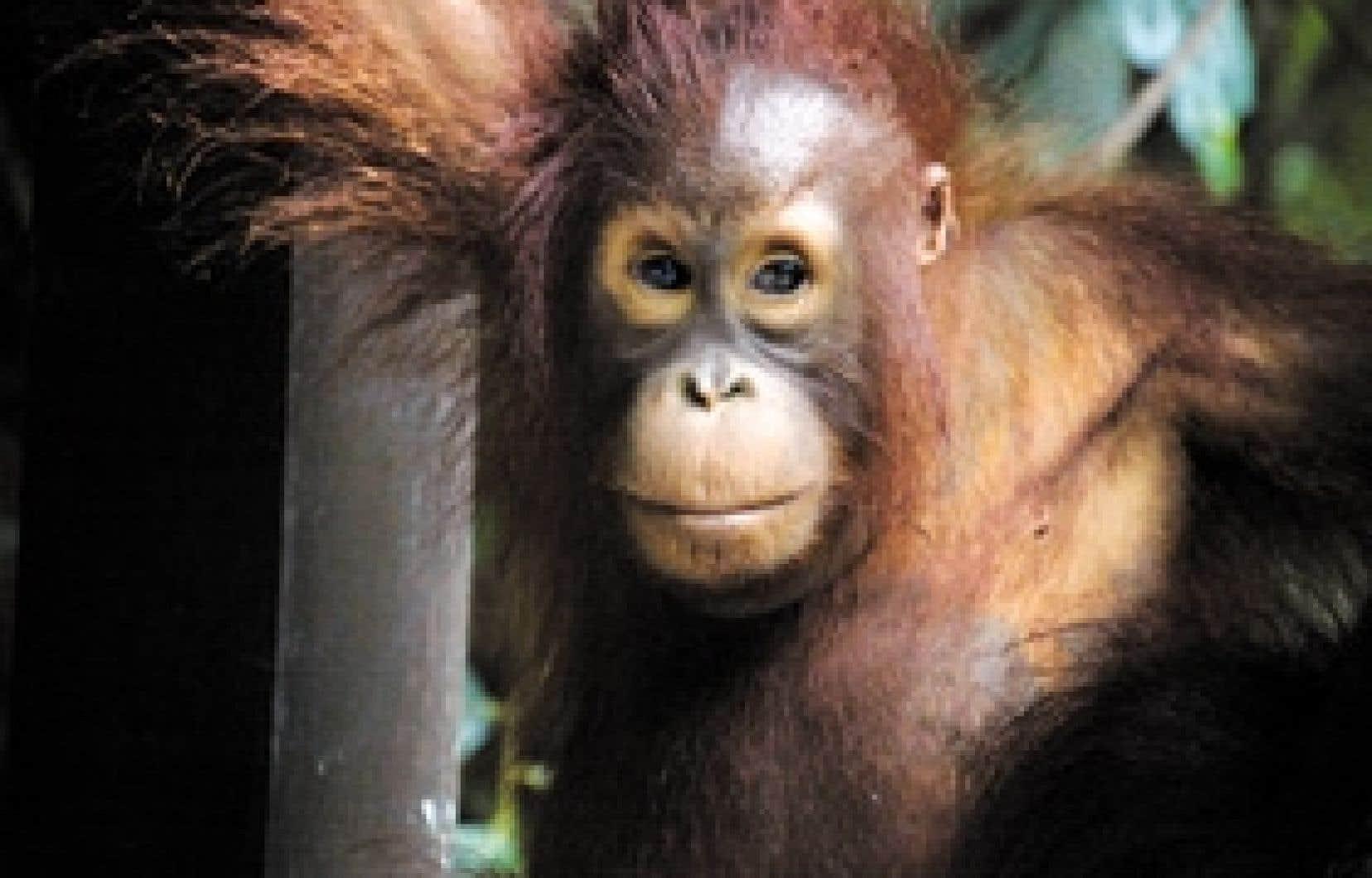 En langue malaise, orang-outang signifie «homme des bois». Ces beaux primates roux aux bras démesurés vivent encore au Sabah et au Sarawak. Mais pour combien de temps?
