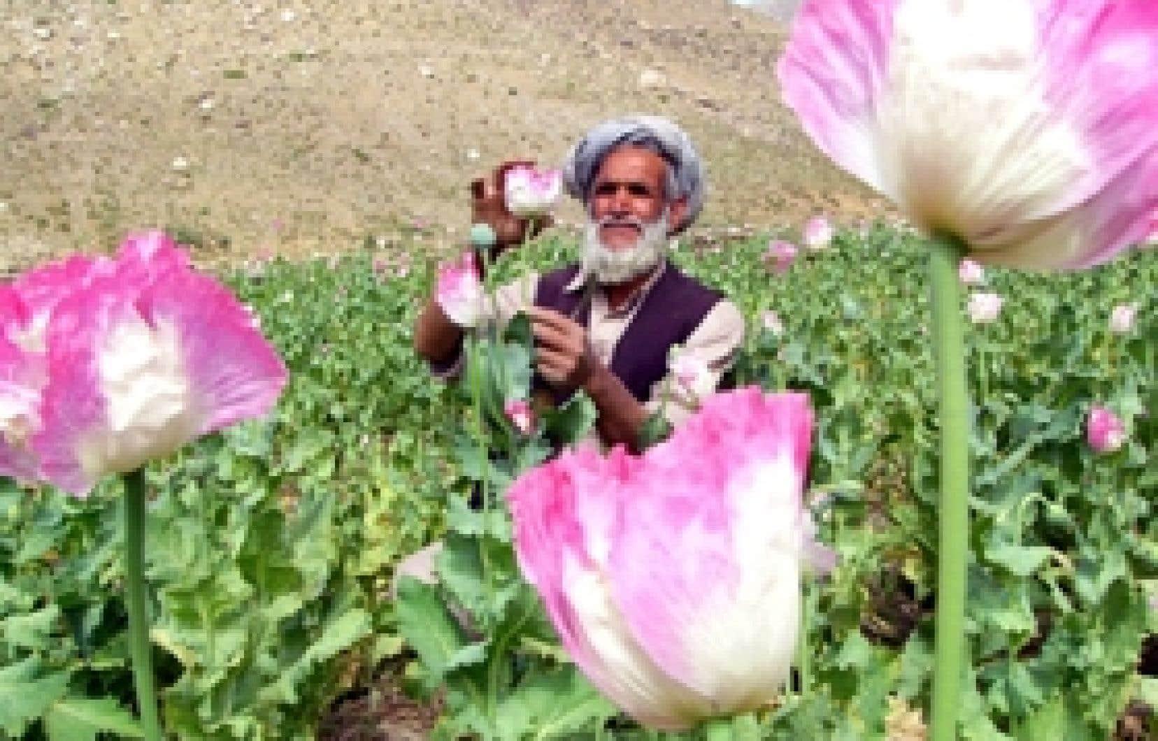 Colloque sur l'Afghanistan - Le pavot, symptôme d'une situation  inextricable   Le Devoir