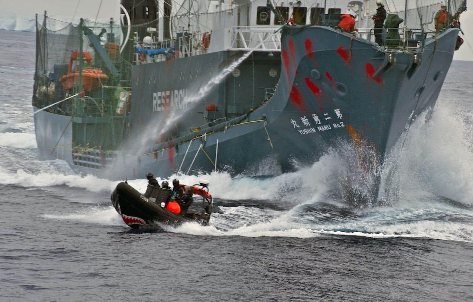 Les chasseurs japonais sont régulièrement harcelés par l'organisation animaliste Sea Shepherd, qui pourchasse littéralement les navires japonais pour les empêcher de mettre à mort des cétacés.