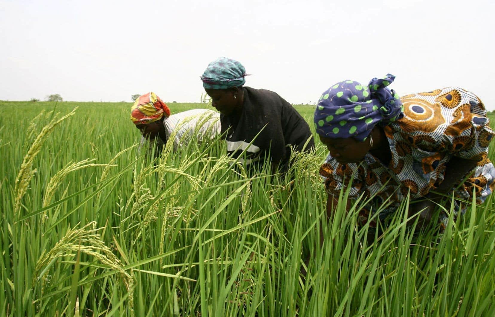 Des Ivoiriennes pendant la récolte de riz. Selon Oxfam, la spéculation alimentaire aurait rapporté 406 millions d'euros à Barclays en 2010. La banque britannique a décidé de se retirer de ce marché.