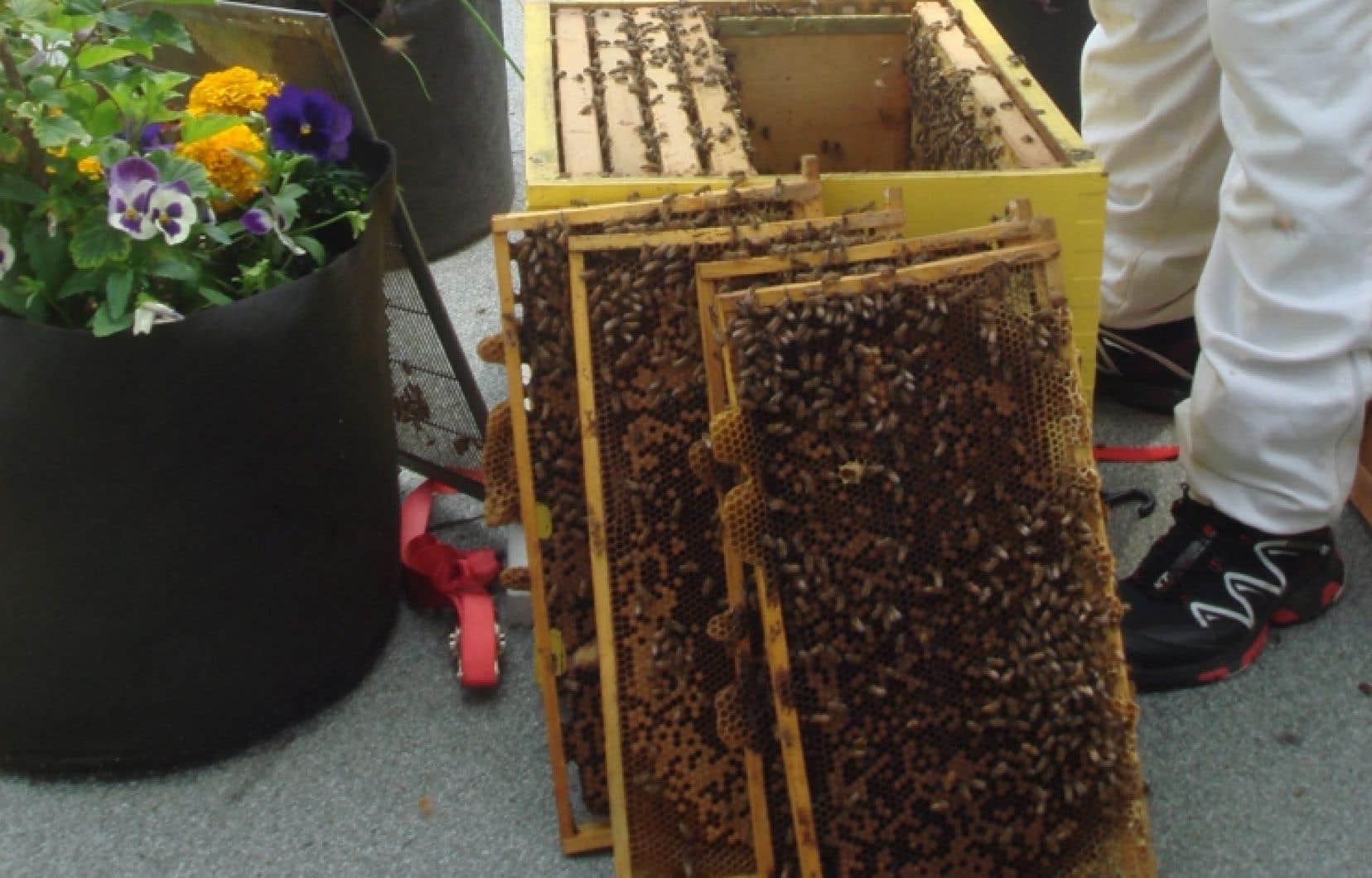 Depuis quinze ans, le nombre d'essaims disparaît mystérieusement sur toute la planète, un phénomène baptisé Syndrome d'effondrement des colonies. Le taux de mortalité des abeilles est d'environ 30% chaque année depuis 2007 en Europe. Et le phénomène prend aussi de plus en plus d'ampleur en Amérique du Nord.