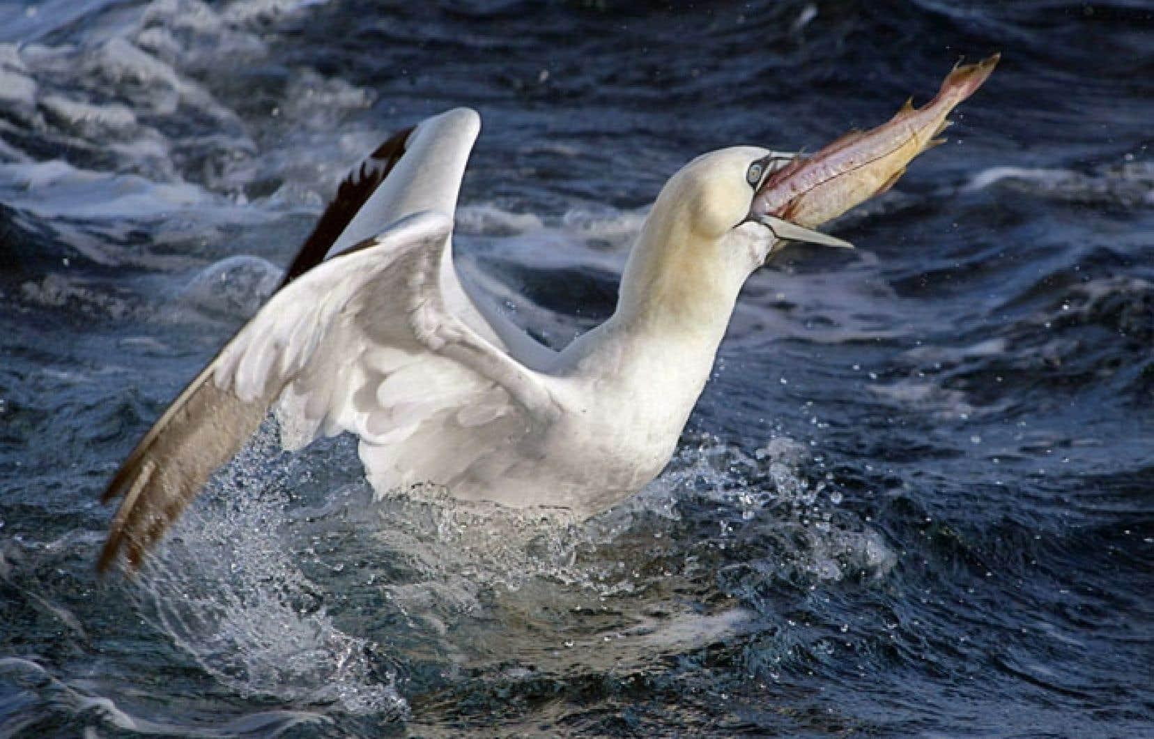 L'accès de plus en plus difficile aux poissons constitue un problème majeur pour les fous de Bassan.